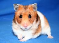 et hamster ordbog